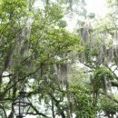 Trees in Charleston