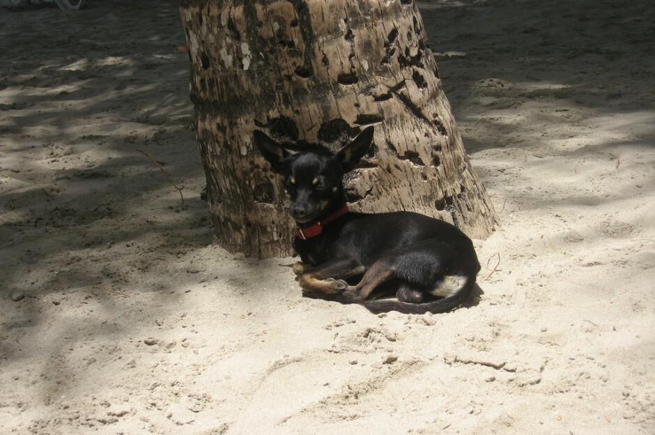 Chihuahua sulla spiaggia in Repubblica Dominicana