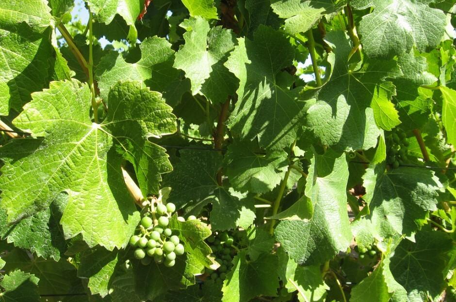 Sauvignon Blanc Grapes Vina Casablanca