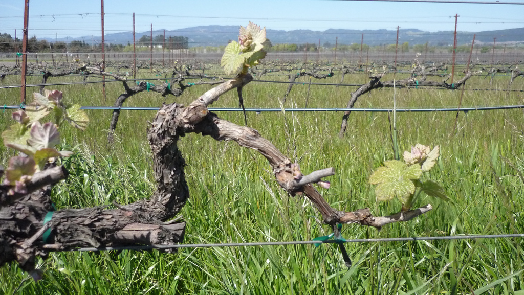 Vines in Sonoma County