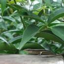 Salamander guanacaste