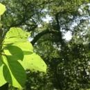 Firefly auf Blatt