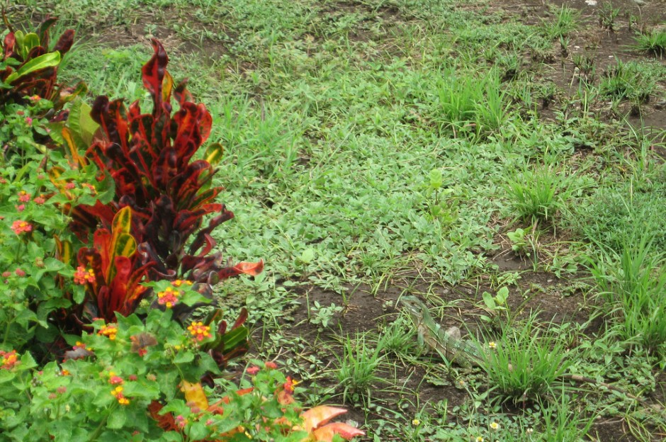 Iguana Guanacaste Costa Rica