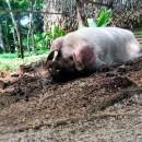 lola's pig guanacaste