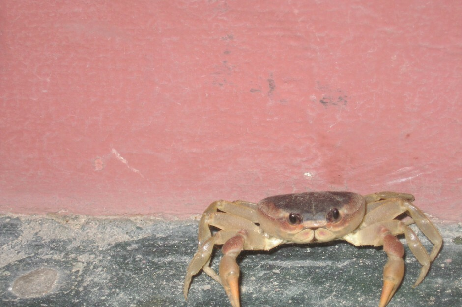Crab in Dominican Republic