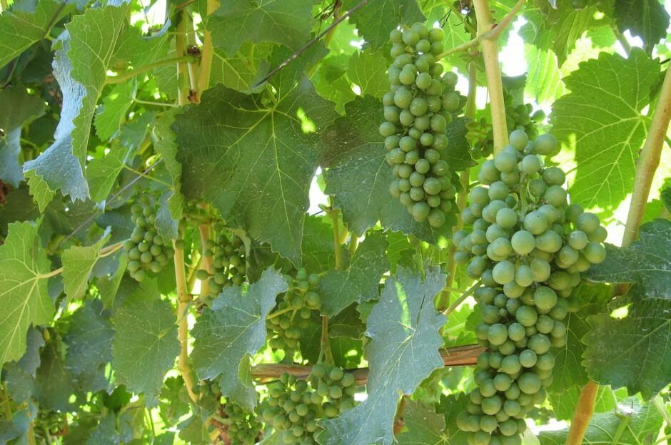 Vina Casablanca Sauvignon Blanc Grapes