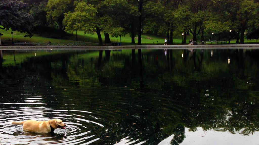 Dog Swimming in Central Park