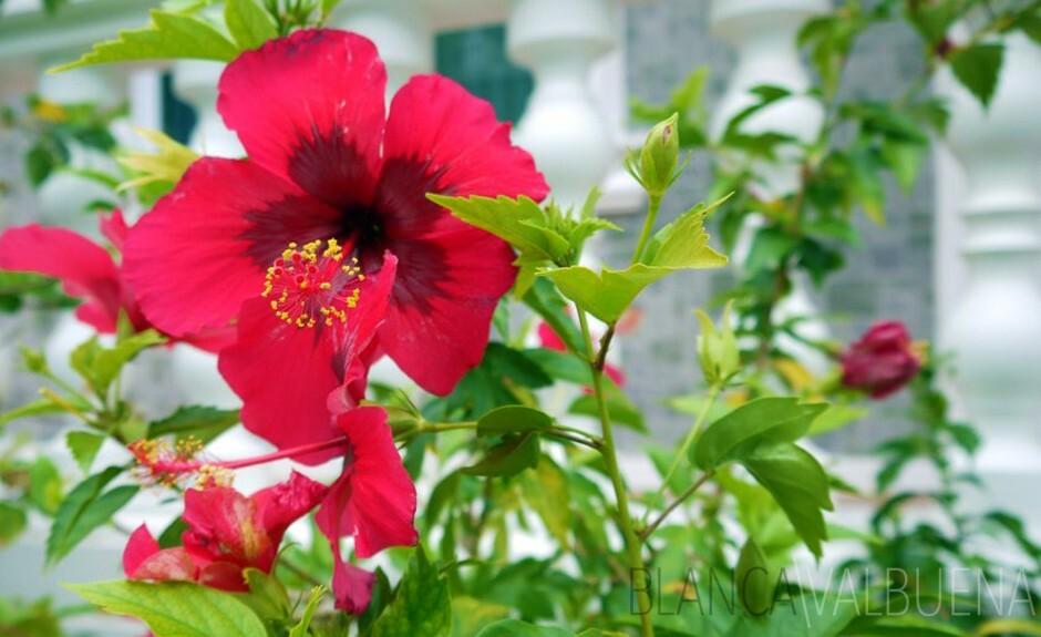 Hibiscus flower with dark center