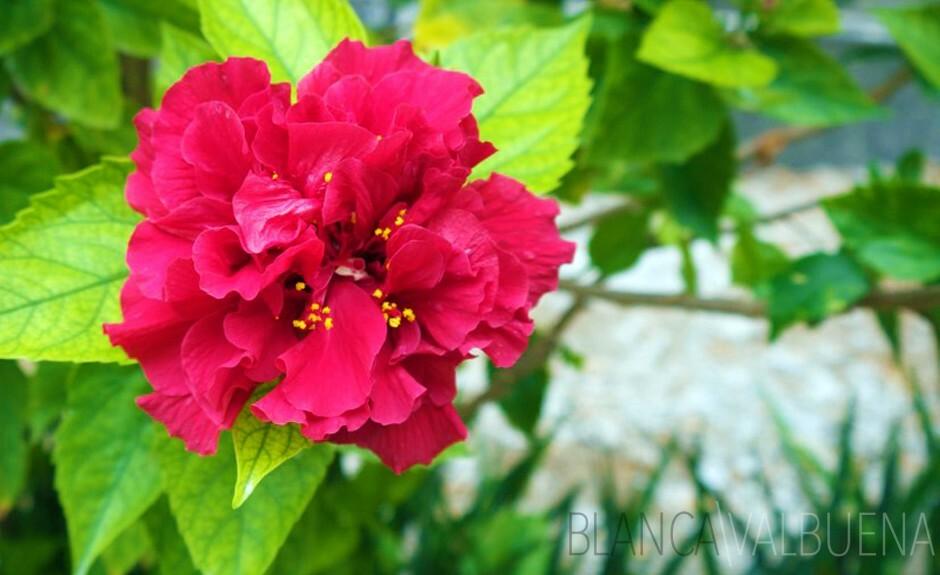 Hibiscus Aish
