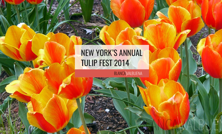 New York's Annual Tulip Fest takes place on the Upper West Side