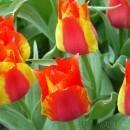 Tulip Festival UWS triumph tulips