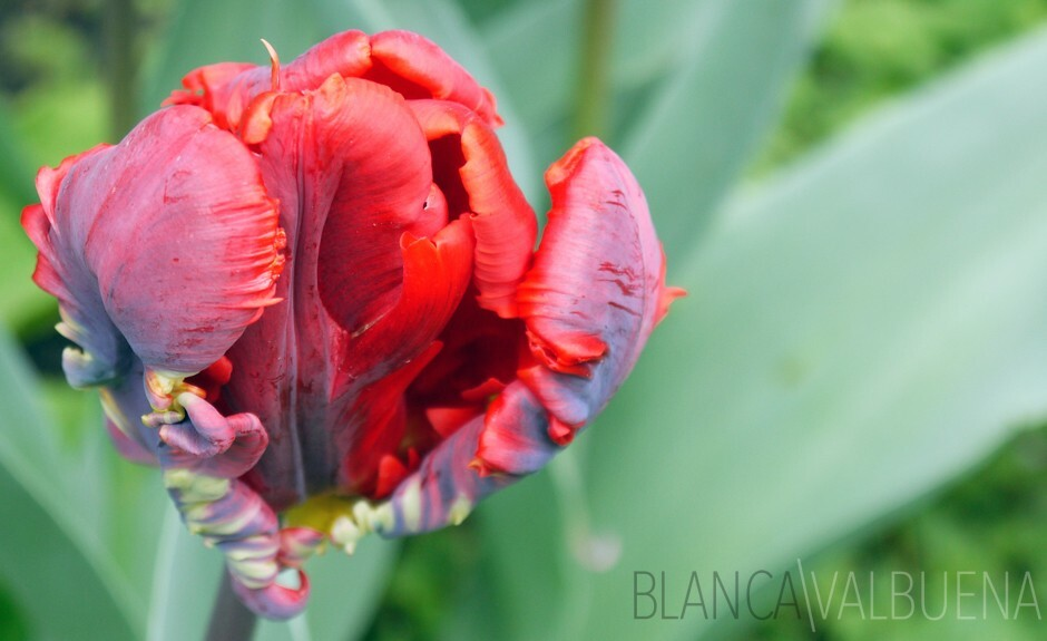 A variety of tulips is the Parrot Tulip