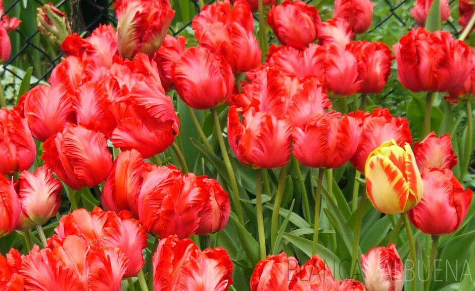 Tulip Festival in New York