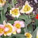 UWS NYC Tulip Festival