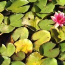 Pond with lotuses in Lisbon Potugal