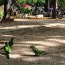 Girl chasing Monk parakeets