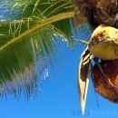 You can buy fresh coconuts at La Boquilla beach in Cartagena, Colombia