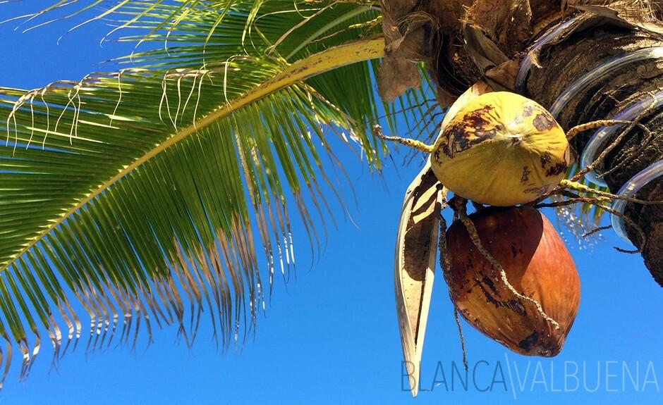 Usted puede comprar cocos frescos en la playa de La Boquilla en Cartagena, Colombia